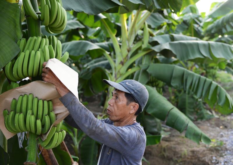 广西:近30万户农户受益特色农产品保险