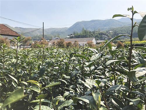 """农业农村部组织开展庆祝首个""""国际茶日""""系列活动"""