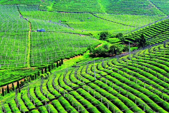 壁纸 成片种植 风景 植物 种植基地 桌面 720_480